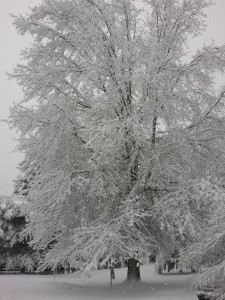 The snow clings to every branch on the tree.  No wonder so many have fallen